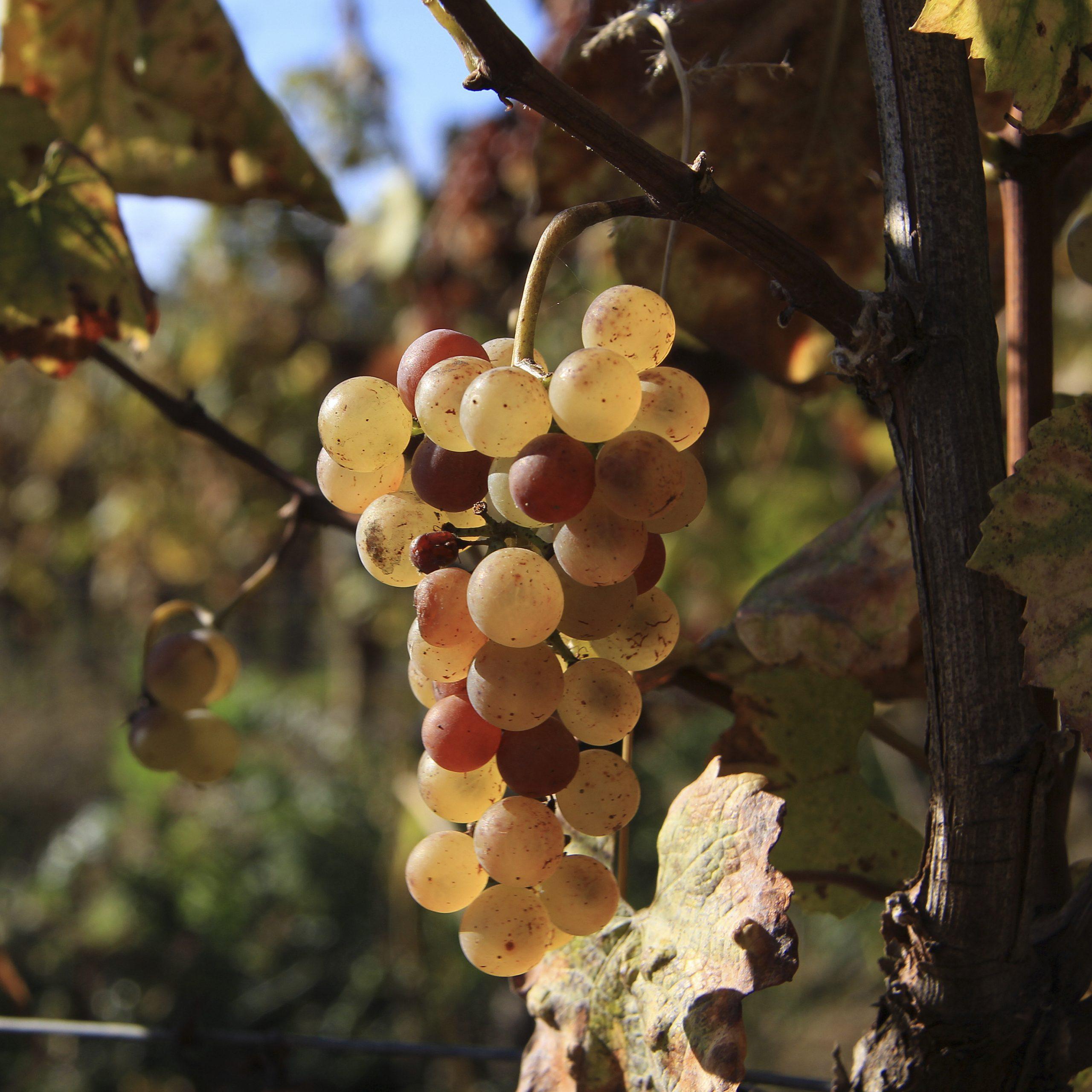 raisin automne
